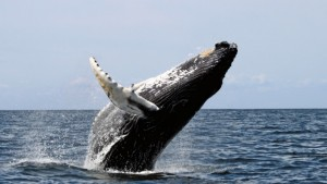Humpback_stellwagen_edit-640x362