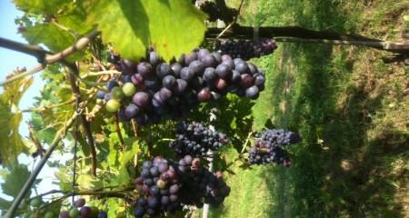 14-tough-harvest-Grappoli-Franklin-Liquors