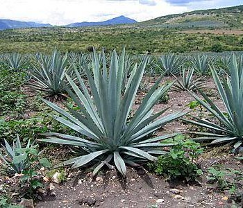 4-agave-plant-Franklin-Liquors