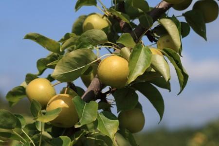 13-Shinseiki_Asian_pears_Franklin-Liquors