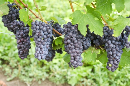 Bunches of ripe Nebbiolo grapes hanging on the vine.