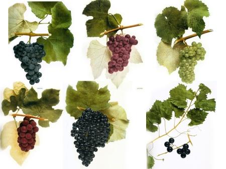 14-native-wine-grapes-america-franklin-liquors