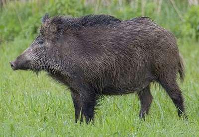11-wild-boar-Franklin-Liquors