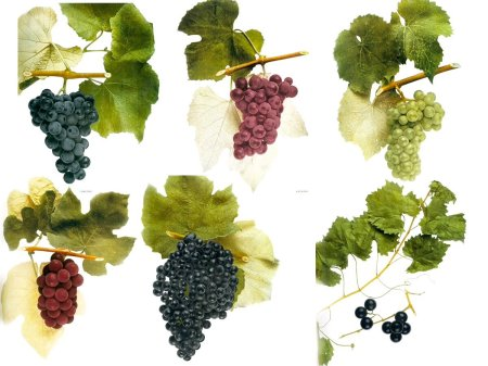 italy-grapes