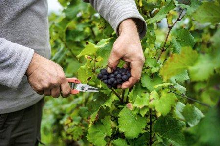 4-winegrapes_Franklin-Liquors