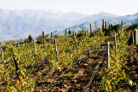 Bodega Colome's Altura Maxima Vineyard at an elevation of 10,207 feet in the upper Calchaqui valley in Salta, Argentina is the highest vineyard in the world.