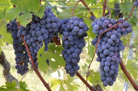 10-nebbiolo-harvest-franklin-liquors